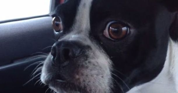 This Adorable Boston Terrier Can Impersonate A Dolphin And A Goat